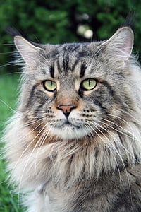 long-fur black and gray cat in closeup photography