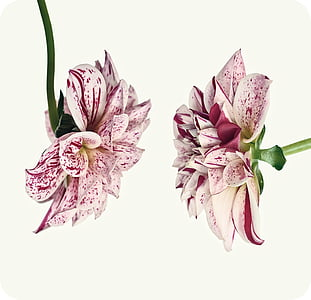 two pink-and-white flowers