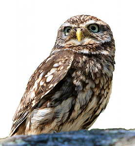 gray owl photography