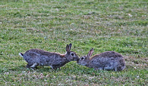 two gray rabbits on grass field