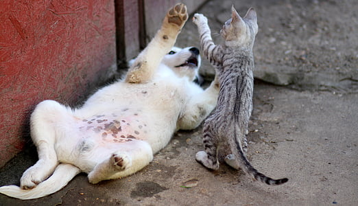 yellow Labrador retriever puppy and gray tabby kitten playing outside the house at daytime
