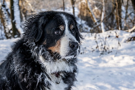 white, brown, and black Bernese mountain dog in snowy forest