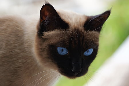photo of Siamese cat