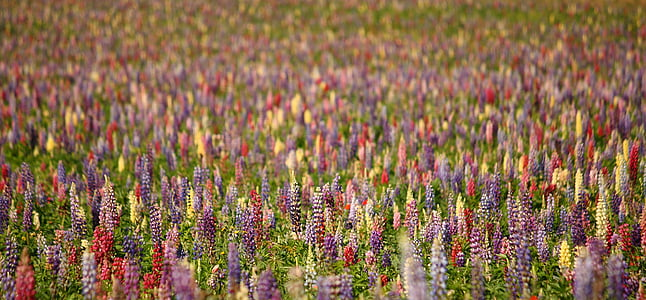 assorted-color lupine flower field