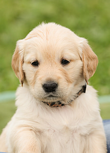 selective focus photography of Golden retriever puppy