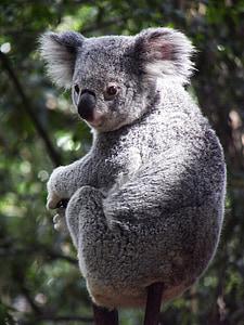selective focus photography of gray koala