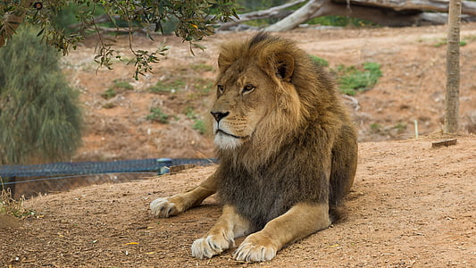 brown lion near tree