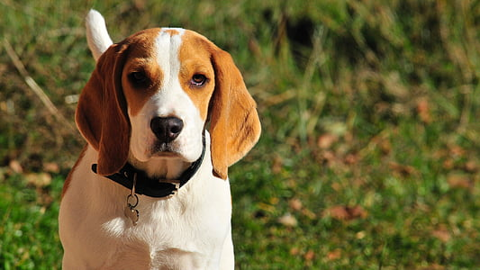 adult brown and white beagle