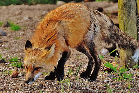 fox smelling ground during daytime