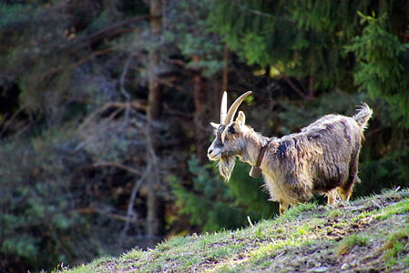 brown and black goat standing near green leafed trees during daytime