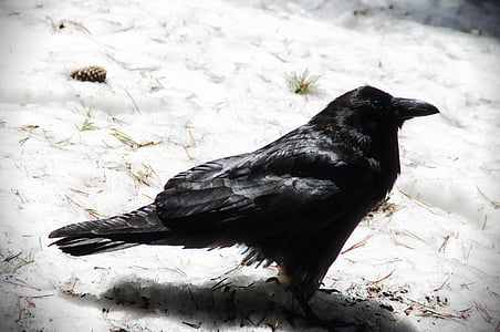 black raven on white sand
