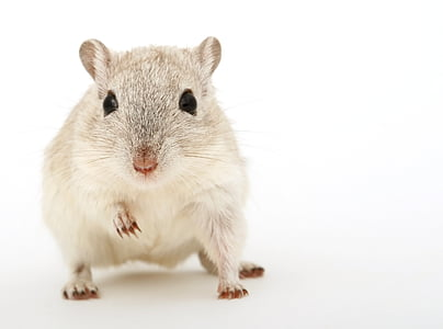grey and white hamster in white background