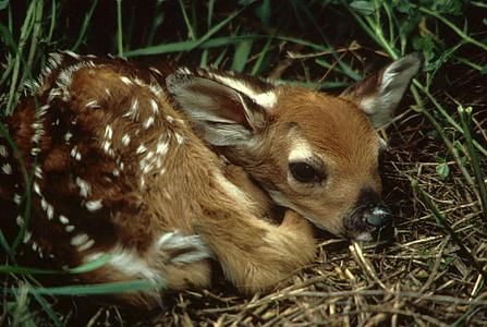 brown deer fawn