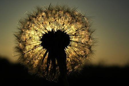 shallow focus photography of dandelion silhouette