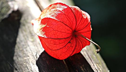 red physalis on brown wooden surface close up photo