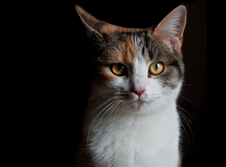 Royalty-Free photo: White, brown, and black cat | PickPik