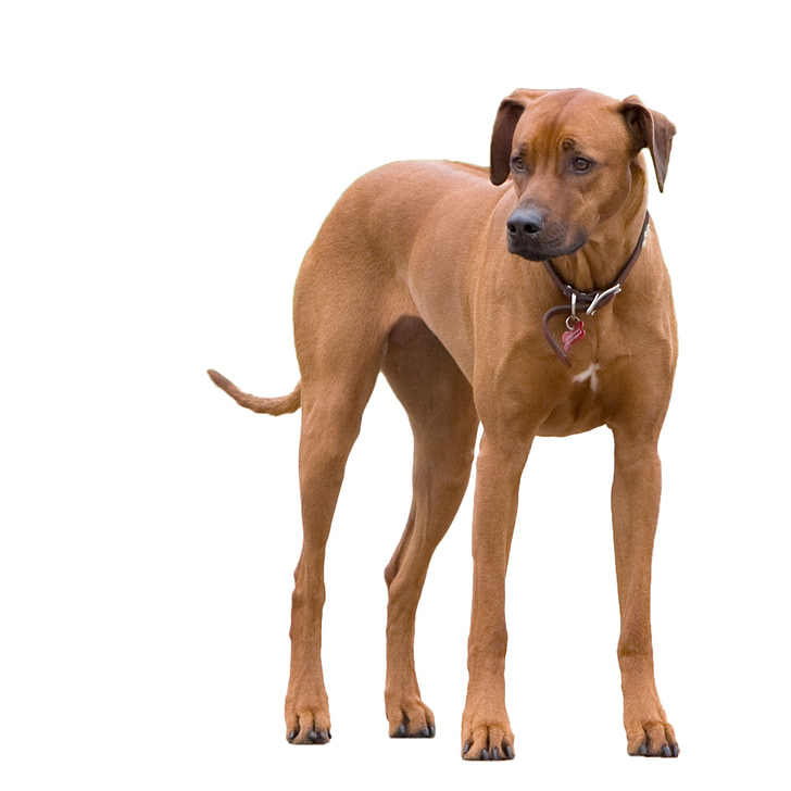 closeup photo of brown short-coated dog against white background