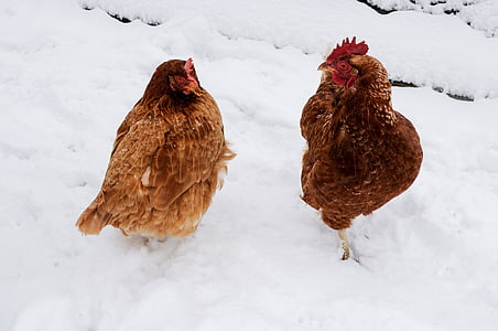 two brown hens on snow during daytime