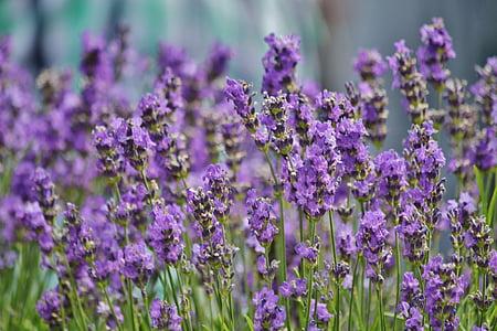 purple lavender flowers in bloom at daytime
