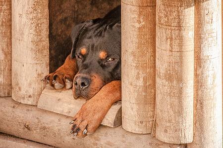 adult mahogany Rottweiler