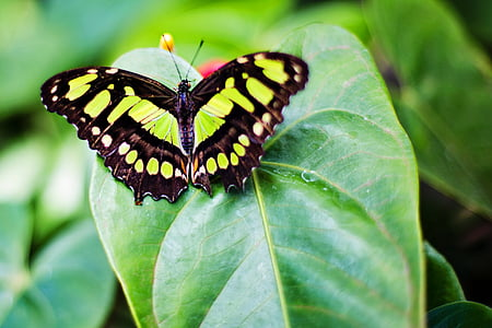 malachite butterfly on green leaf plant