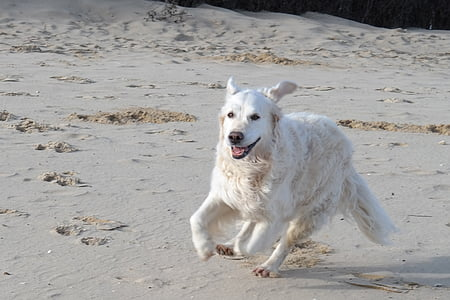 light golden retriever on seashore