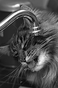 cat drinking on faucet