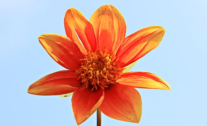 close up photography of orange dahlia flower in bloom