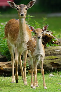 brown deer beside fawn