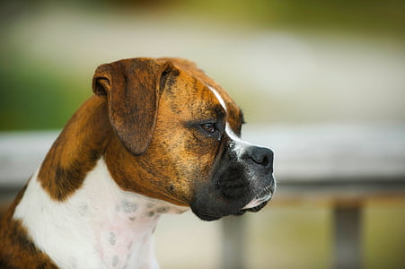 adult tan and white Boxer closeup photography