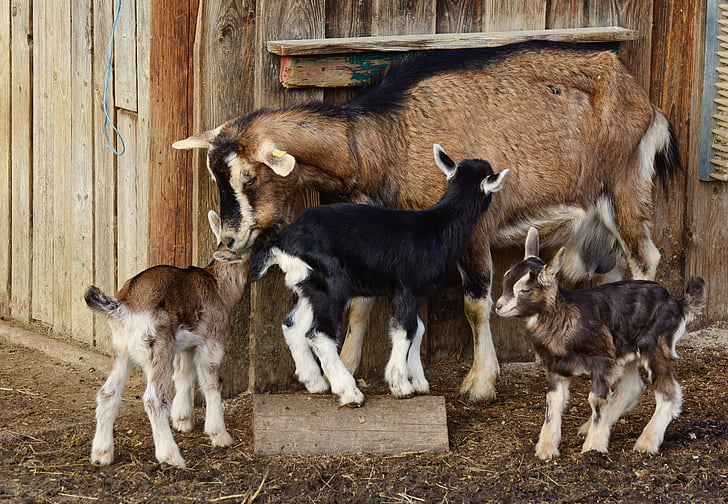 brown and black goat with three kids