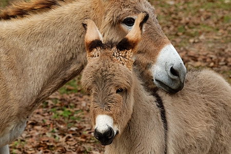selective focus photography of two donkey heads
