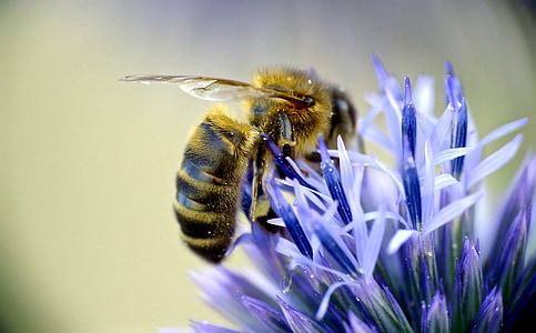 bee sucking pollen from purple flower