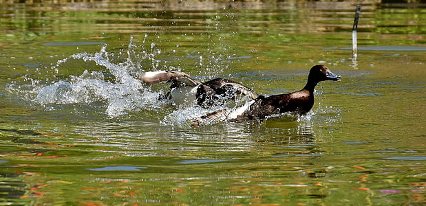 brown duck swim on water