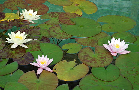 white and pink petaled flowers water lily on water