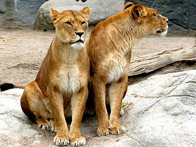 two lioness sitting on concrete ground