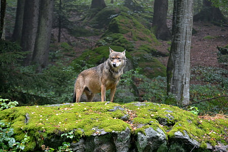 brown Coyote standing on green grass field on rock cliff during daytime