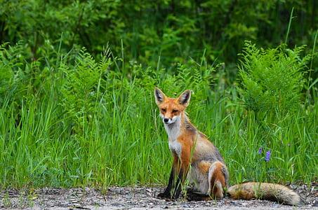 brown fox seat near green grass at daytime