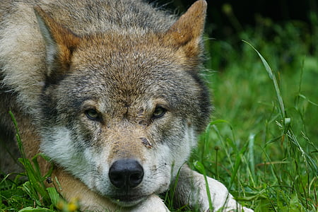 close-up photo of brown and gray wolf lying on green grass