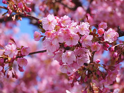 closeup photo of cherry blossom flower