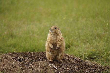 brown beaver standing on brown soil