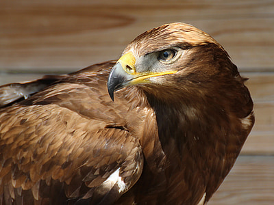 shallow focus photography of brown hawk