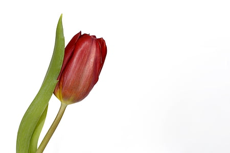 red tulip with white background