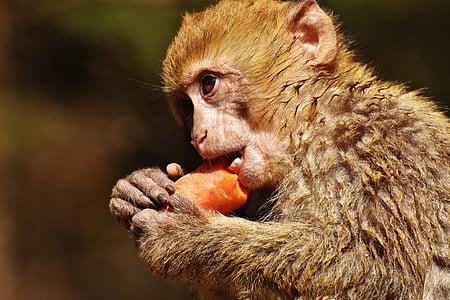 tilt shift lens photography of monkey eating carrot