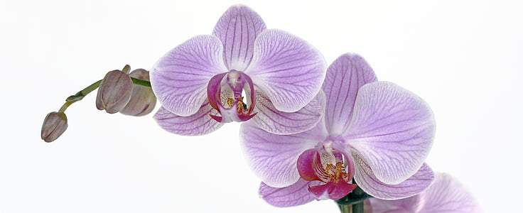 purple moth orchids in closeup photo