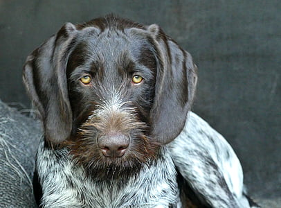 closeup photo of adult German wirehaired pointer