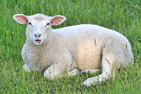 white lamb on top of green grass