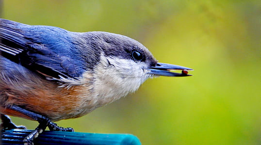 selective focus photography of white-breasted nuthatch