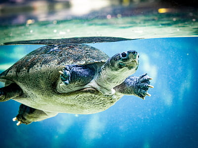 brown tortoise swimming in water closeup photography