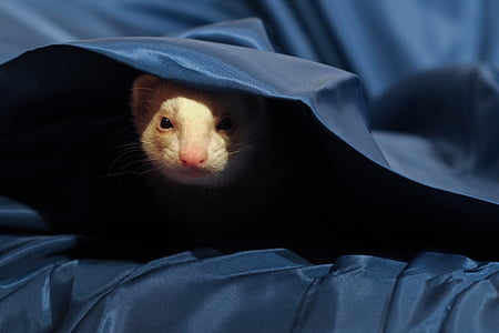 closeup photography of brown ferret covering blue textile